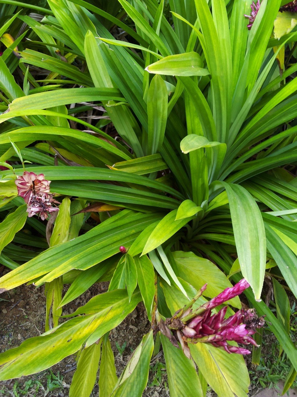 Ginger Plant: Ginger is the roots of this plant. Malaysians use every ...