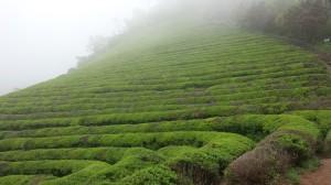 Green Tea Hills